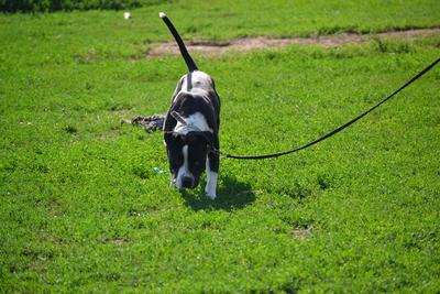 Rambo sucht Hundeflüsterer!, Staffordshire Terrier - Rüde