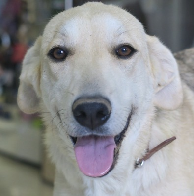 Reina, Labrador Mix - Hündin