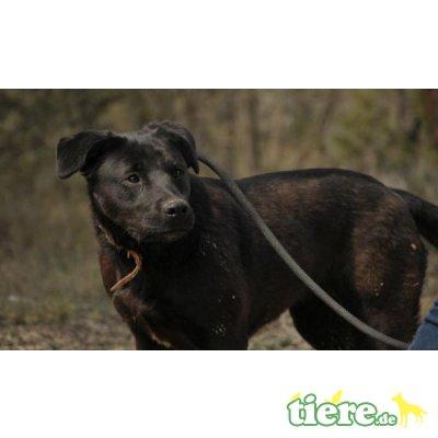 Renata, Labrador-Mix - Hündin
