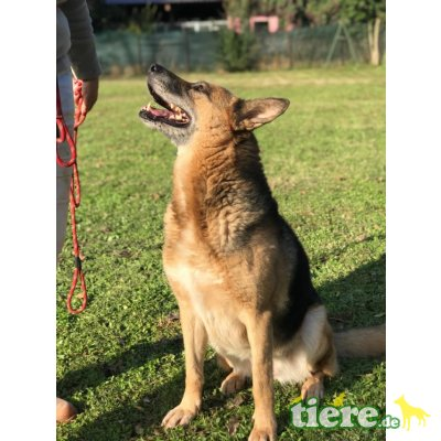 Rozene, Deutscher Schäferhund - Hündin
