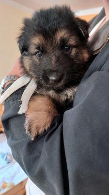 Sallys_love_puppies, Schäferhund Welpen - Hündin