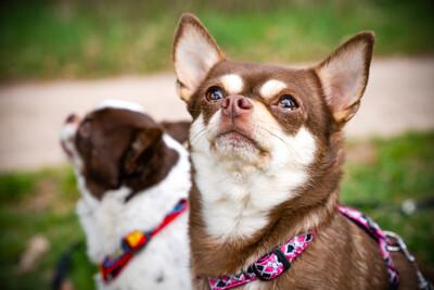 Salzi mit Tacci, Chihuahua - Hündin