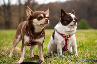 Salzi und Tacci, Chihuahua - Hündin 1