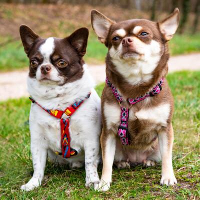 Salzi und Tacci, Chihuahua - Hündin