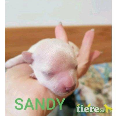 Sandy, Chihuahua kurzhaariger Schlag Welpen - Hündin 1