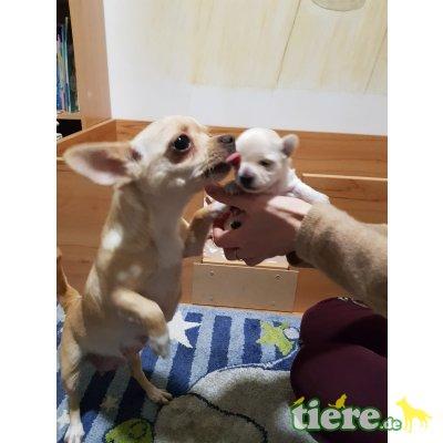 Sandy, Chihuahua kurzhaariger Schlag Welpen - Hündin