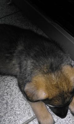 Schäferhund Welpen - Hündin