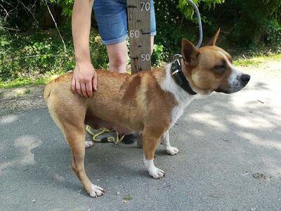 Schüchterne Corina sucht Menschen mit Geduld!, Staffordshire Terrier - Hündin 1