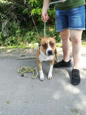 Schüchterne Corina sucht Menschen mit Geduld!, Staffordshire Terrier - Hündin