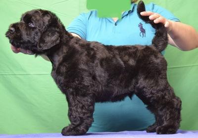 Schwarzer Russischer Terrier Welpen - Rüde