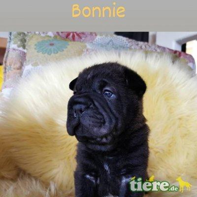 Sharbull, Sharpei Französische Bulldogge Welpen - Rüde