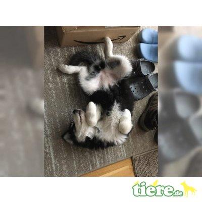 Siberian Husky - Rüde