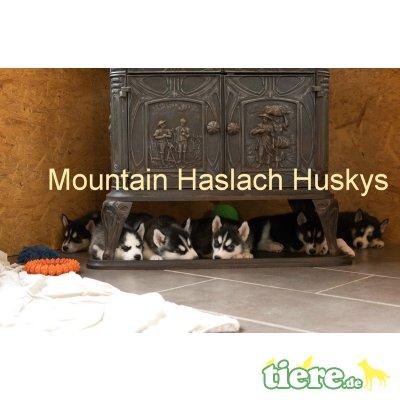 Siberian Husky Welpen - Hündin 1