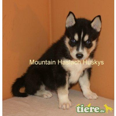 Siberian Husky Welpen - Hündin