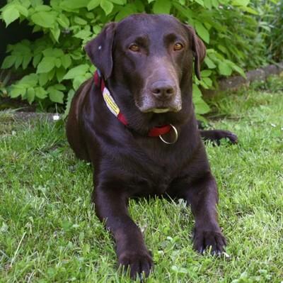Sky Love, Labrador - Hündin