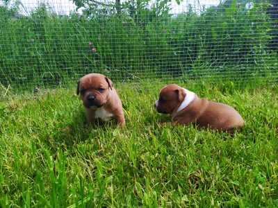 Staffordshire-Bullterrier Welpen - Rüde