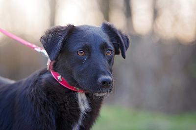 Suzie, Schäfer Labrador ? Mischling Welpen - Hündin