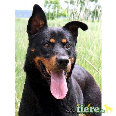 TARO, Dobermann-Rottweiler-Mix? - Rüde