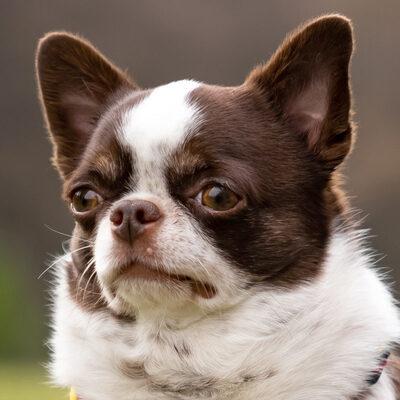 Tacci mit Salzi, Chihuahua - Rüde - Rüde 1