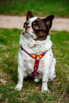 Tacci mit Salzi, Chihuahua - Rüde - Rüde