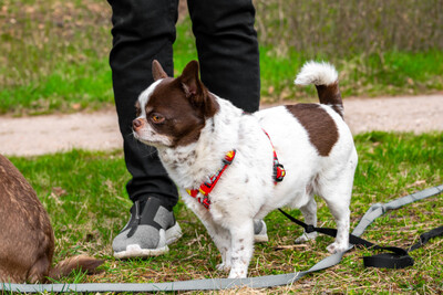 Tacci mit Salzi, Chihuahua-Rüde - Rüde
