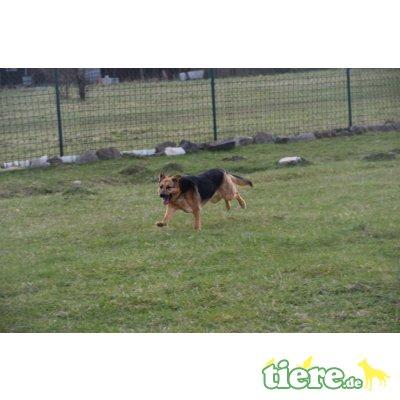 Tesa, Schäferhund Mix - kastriert - Hündin
