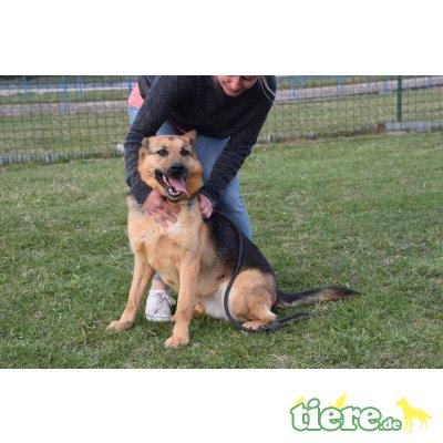 Tesa, Schäferhund Mix - kastriert - Hündin 1