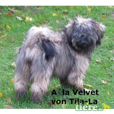 Tibet-Terrier - Hündin