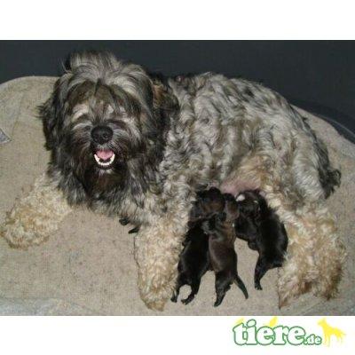 Tibet-Terrier - Hündin 1