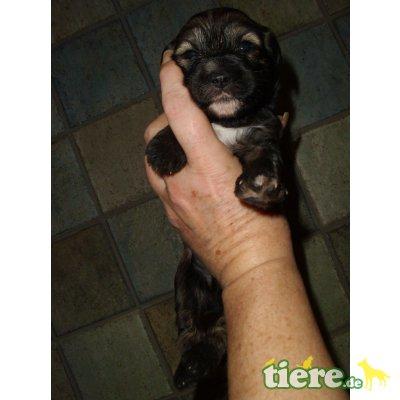 Tibet-Terrier Welpen - Rüde