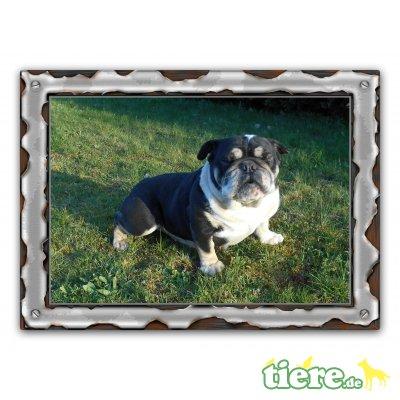Tierische Ernährungsberatung, Bulldog Welpen - Rüde 1