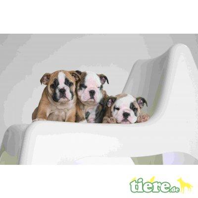 Tierische Ernährungsberatung, Französische Bulldogge Welpen - Rüde