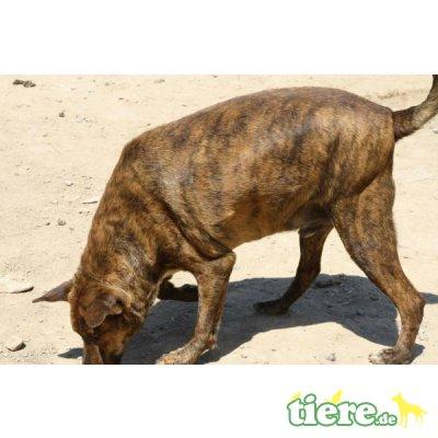 Tigre, Mischling - Rüde