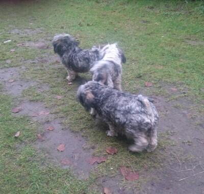 Tila-La Tibet Terrier Welpen, Tibet-Terrier Welpen - Rüde 1
