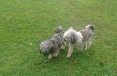Tila-La Tibet Terrier Welpen, Tibet-Terrier Welpen - Rüde