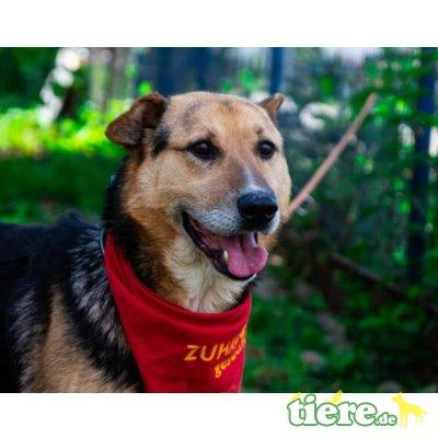 Timbo, Schäferhund-Mix - Rüde