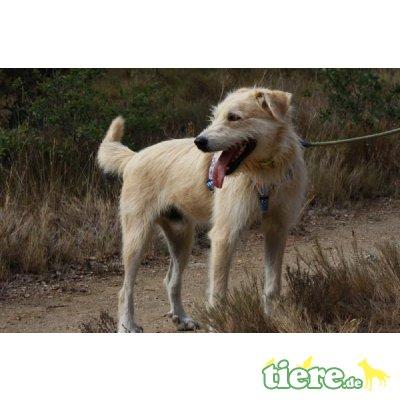 Tora, Labrador-Mix - Hündin