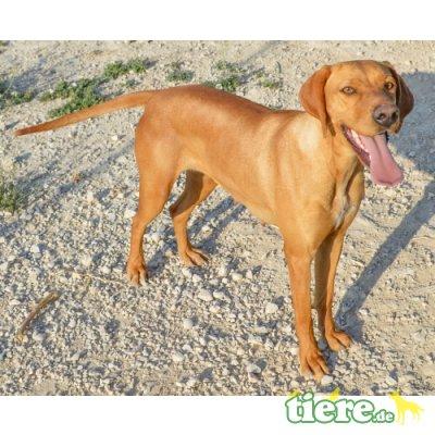 Valeria, Labrador-Schäferhund-Mix - Hündin