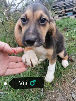 Vili, Beagle-Mischling Welpen - Rüde