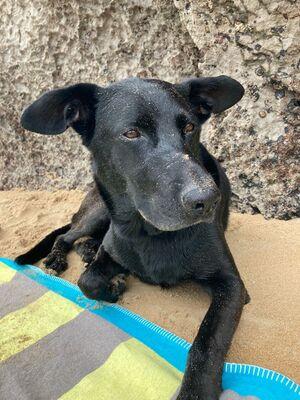 Vincent, Labrador - Deutscher Schäferhund - Rüde