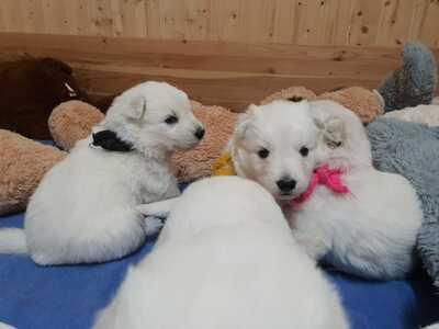 Weißer Schweizer Schäferhund Welpen - Hündin