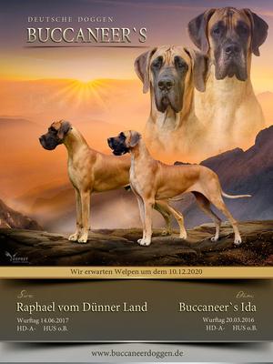 Welpe L-Wurf, Deutsche Dogge Welpen - Hündin 1