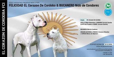 Welpen Dogo Argentino FCI, Dogo Argentino Welpen - Hündin