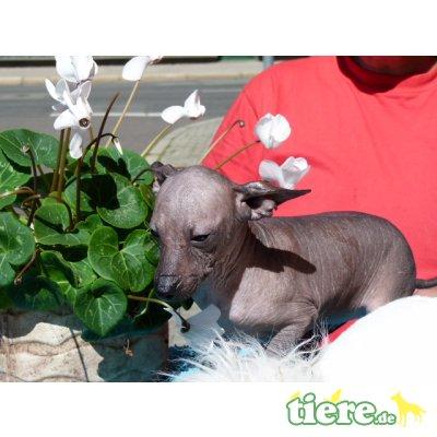 Xoloitzcuintle Standard, Mexikanischer Nackthund Welpen - Hündin