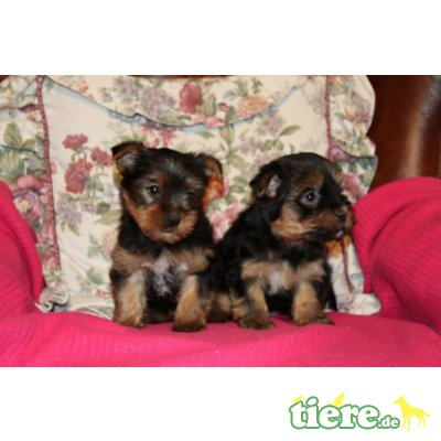 Yorkshire Terrier - Hündin 1