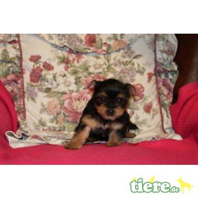 Yorkshire Terrier - Hündin