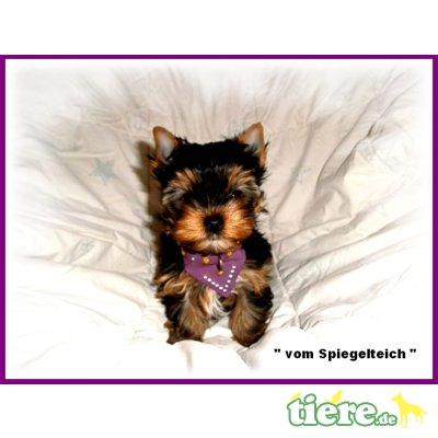 Yorkshire Terrier Welpen - Hündin