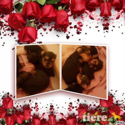 Yorkshire Terrier Welpen - Rüde