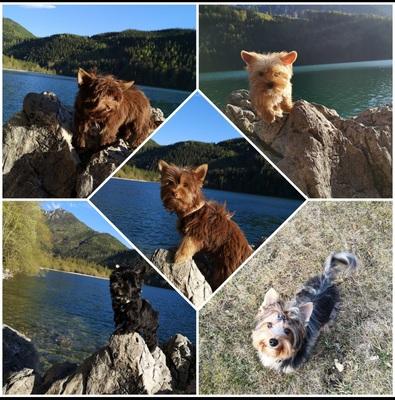 Yorkshire Terrier Welpen - Rüde 1