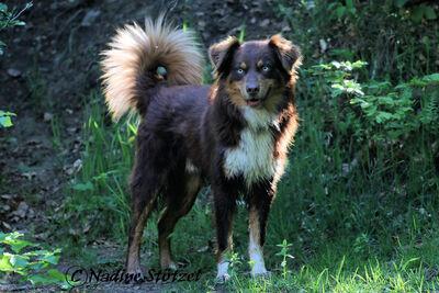 Yucon, Australian Shepherd Deckrüde red tri mit bla - Rüde